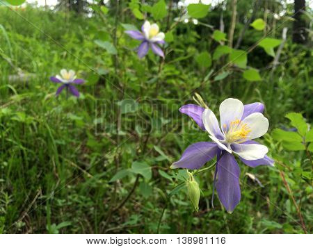 Purple Colorado Columbine wildflowers Aquilegia Coerulea grow on the side of Pikes Peak mountain in Colorado Springs CO during summertime. It is the state flower of Colorado USA