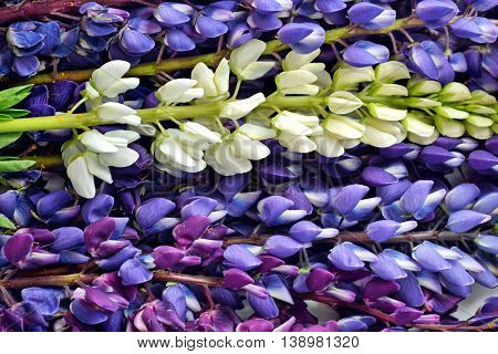 Floral background of bright colorful flowers lupine