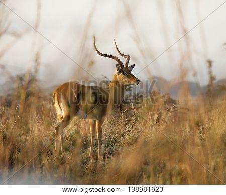 Impala in Nairobi National Park at dawn