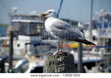 Seagull close-up standing on dock with nautical marina background