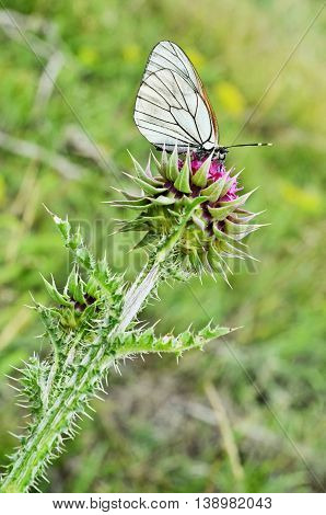 White Butterfly on Musk Thistle (wild flower)