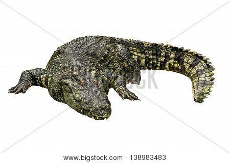 Large Asian crocodile isolated on white background