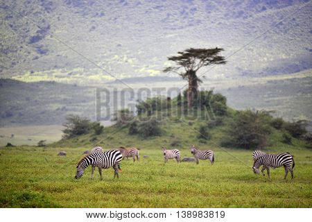 Zebra in Serengeti National Park, Tanzania, East Africa