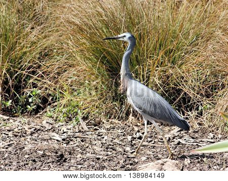 White faced heron. An Australian species believed to have crossed the Tasman Sea and established in New Zealand.