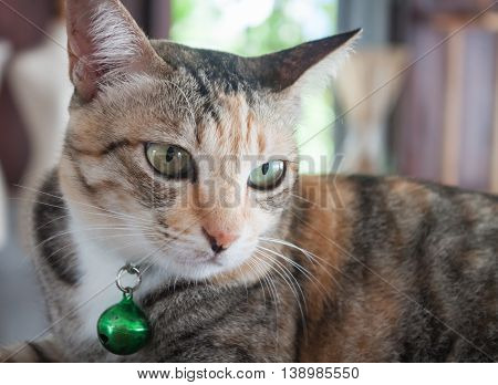 Close up portrait of siamease cat, stock photo