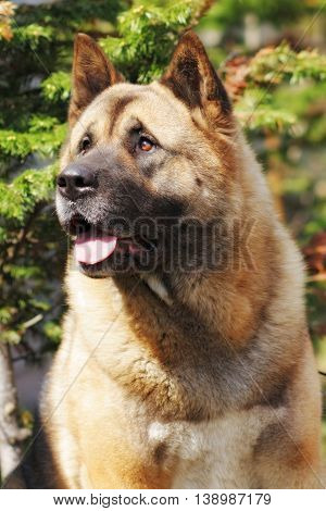 dog breed Akita inu looks up with a questioning look closeup portrait