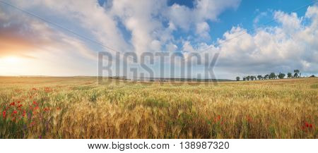 Meadow of wheat panorama. Nature composition.