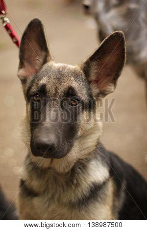 cute sad puppy German shepherd plaintively looking closeup portrait