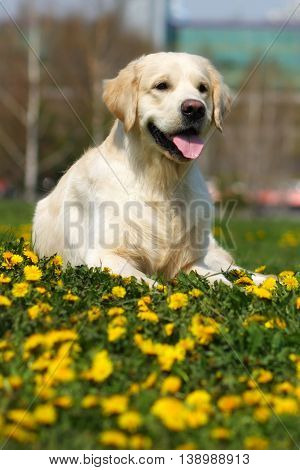 happy dog breed Golden Retriever lying in the summer grass with dandelions