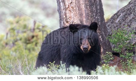 American Black Bear Sow in Roosevelt Lodge area of Yellowstone National Park in Wyoming USA