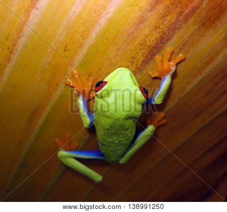 Red eye tree frog climbing up banana leaf.