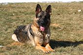 German shepherd dog standing in field profile poster