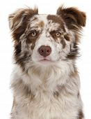 Close-up of Red Merle Border Collie, 6 months old, in front of white background poster