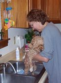 a woman giving her miniature poodle bath poster