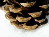 Shows side extremely close up view of pine cone. Picture is macro photography aimed to shows for educational purposes structure of parts building pine cone. poster
