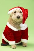 Small Dog In Santa Costume poster