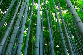 Bamboo forest at bamboo grove Kyoto , Japan