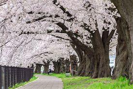 Sakura , cherry blossom tunnel in Japan