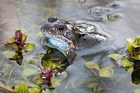 Common frog in a pond in springtime, with pond plants and some frogspawn visible in the background.