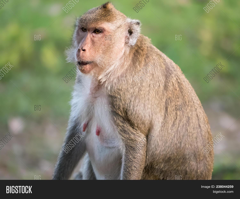 Makake Affe