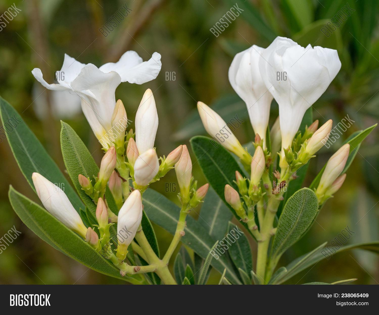 Blooming White Image Photo Free Trial Bigstock