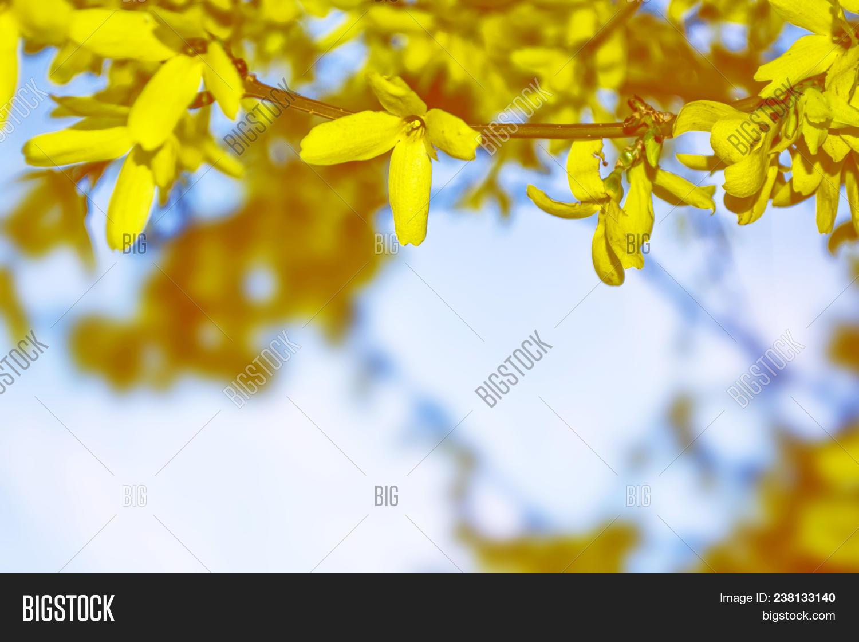 Flowering bush yellow flowers image photo bigstock flowering bush of yellow flowers forsythia spring landscape mightylinksfo