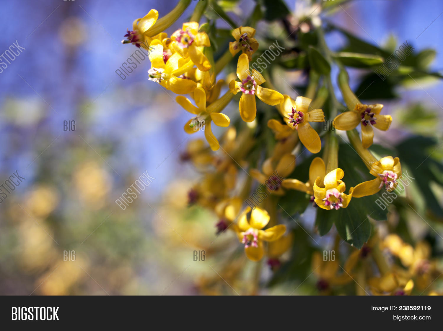 Flowering currant image photo free trial bigstock flowering currant yellow flowers in spring ribes aureum mightylinksfo