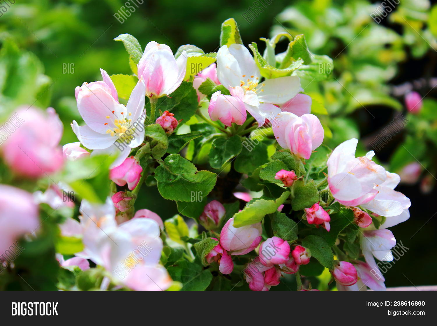 Apple Trees Blooming Image Photo Free Trial Bigstock