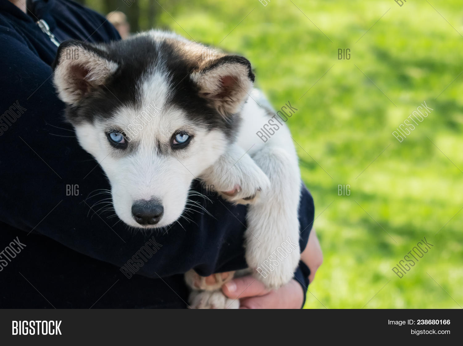 Cute Puppy Siberian Image Photo Free