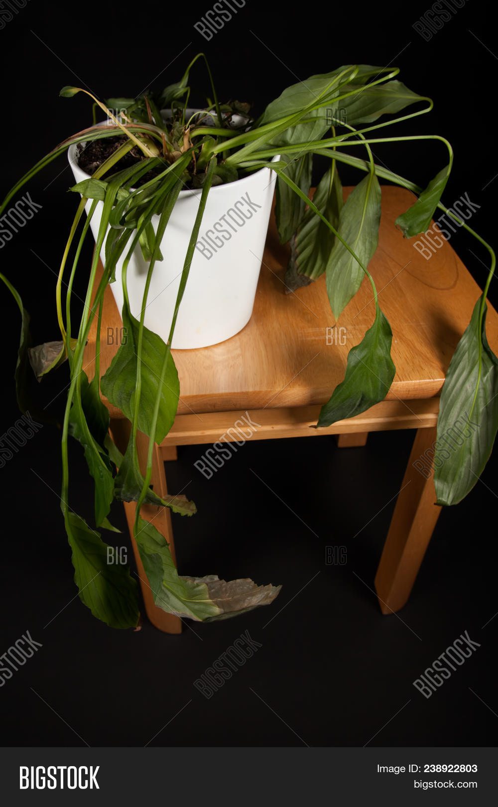 Dehydrated Indoor Pot- Image & Photo (Free Trial) | Bigstock on wilted rose plant, wilted ivy plant, wilted boston fern plant, wilted daisy plant, wilted pothos plant, wilted poppy plant, wilted aloe vera plant,