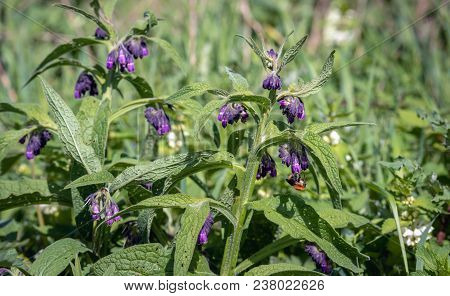 Bumblebee Visits The Purple Flowers Of The Common Comfrey Plant. Comfrey Is Used In Folk Medicine As