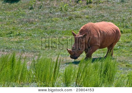 A Male Rhinoceros in a the grassy plains poster