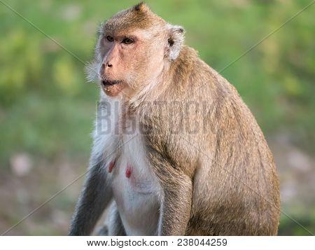 Süßer Makake Affe Sitzt Vor Wiese In Asien Und Guckt Konzentriert