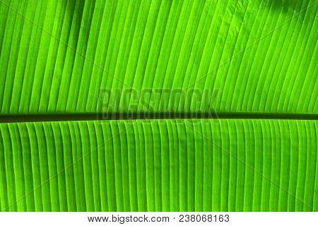 Extreme Close Up Background Texture Of Backlit Green Palm Leaf Veins