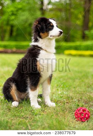 Happy Aussie dog sitting at meadow with green grass in summer or spring. Beautiful Australian shepherd puppy 3 months old. Cute dog enjoy playing at park outdoors.