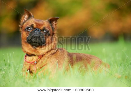 griffon Brussels petit brabancon dog lying on green grass at autumn background poster