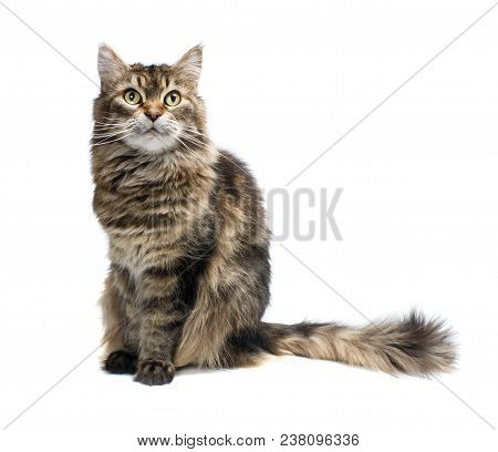 Tabby Cat Sitting In Front Of A White Background