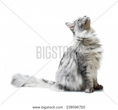 Cat  Looking Up Isolated On White Background.