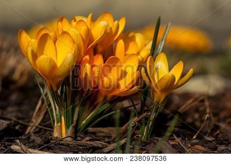 One Of The Very First Flowers To Herald In Spring, This Yellow Crocus Spring Flowers