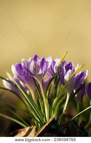 Crocus, Plural Crocuses Or Croci Is A Genus Of Flowering Plants In The Iris Family.