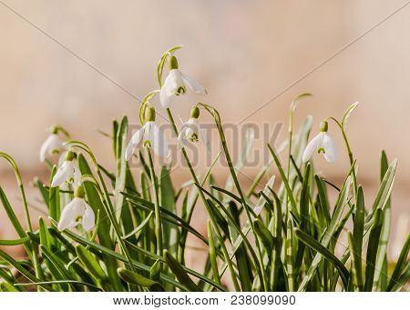The First Spring Flowers, Snowdrops, A Symbol Of Nature Awakening In The Sunlight. Light Toning, Bri