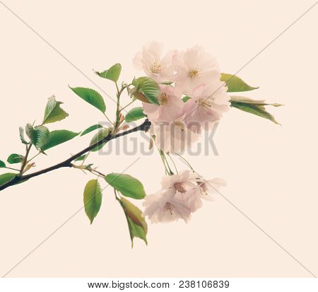 Soft Focus Cherry Blossom Or Sakura Flower On Nature Background  And Toned In Retro Vintage Color