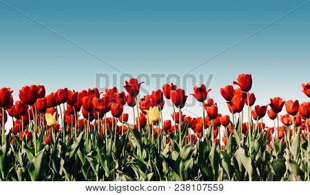 Beautiful Bouquet Of Tulips. Colorful Tulips. Tulips In Spring Sun. Tulip In The Field. Field With R
