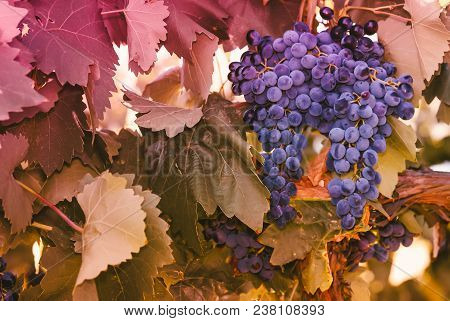 Purple Red Grapes With Green Leaves On The Vine. Vine Grape Fruit Plants Outdoors. Autumn And Harves