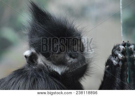 Close up of a Francois Langur monkey