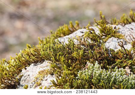 Moss, Hair Cap Moss Or Hair Moss On The Ground, Closeup, Lush Green Carpet Of Moss