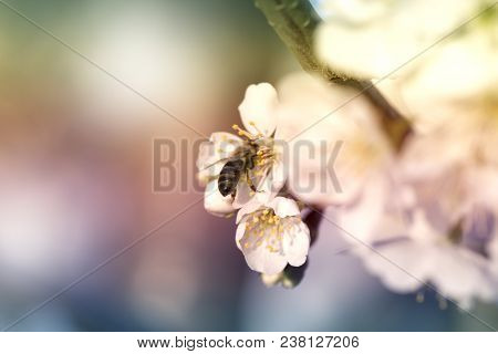 Bee On A White Flower On A Tree. Bee Picking Pollen From Apple Flower.bee On Apple Blossom.honeybee