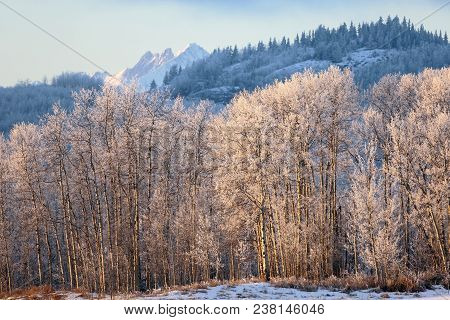 Beautiful Winter Scenery With Frostcovered Aspen Forest Shining In Late Afternoon Sunlight.