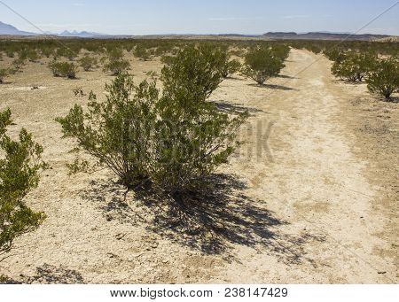 Creosote Is The Most Prolific Plant In The Chihuahuan Desert, Which Covers Large Swaths Of Northern