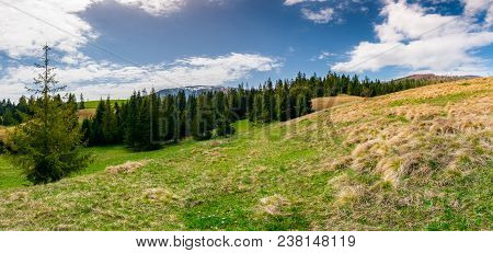 Panorama Of Spruce Forest On A Hill Side Meadow In High Mountains On A Cloudy Springtime Day. Lovely